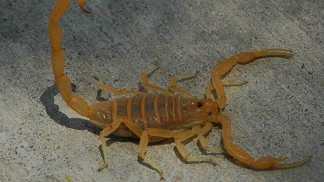Rindenskorpion