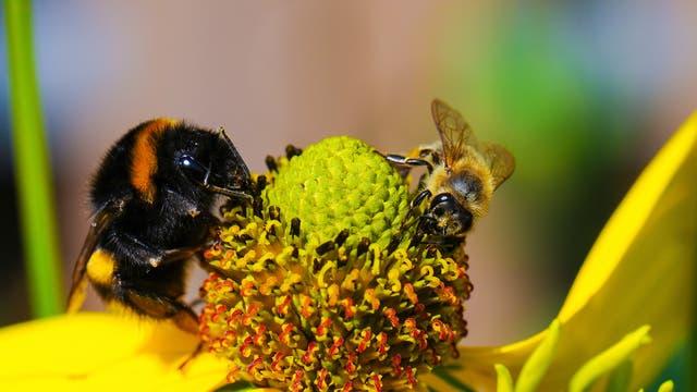 Hummel und Biene an Blüte