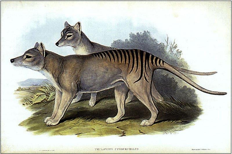 Tasmanische Tiger, Männchen und Weibchen