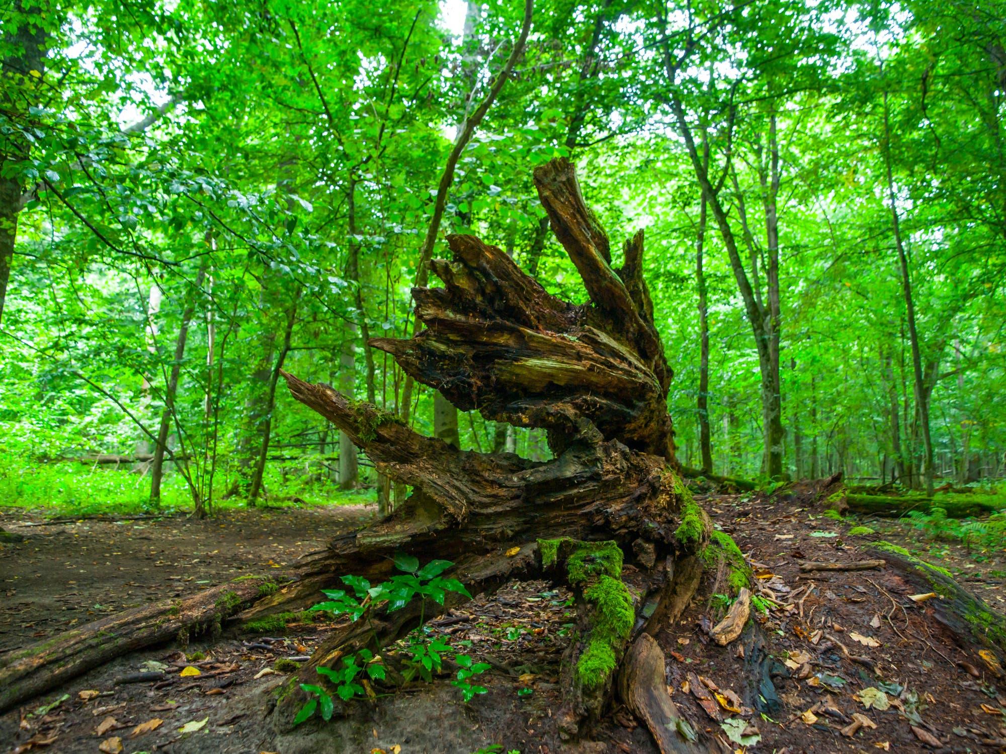 Urwald im polnischen Bialowieza