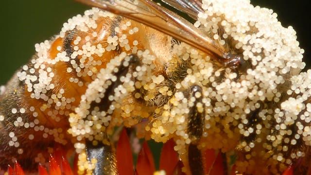 Mit Pollen bedeckte Biene