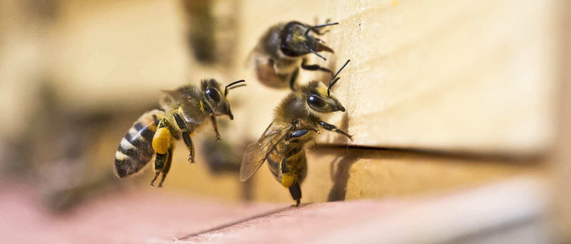 Mit Pollen beladene Bienen am Bienenstock