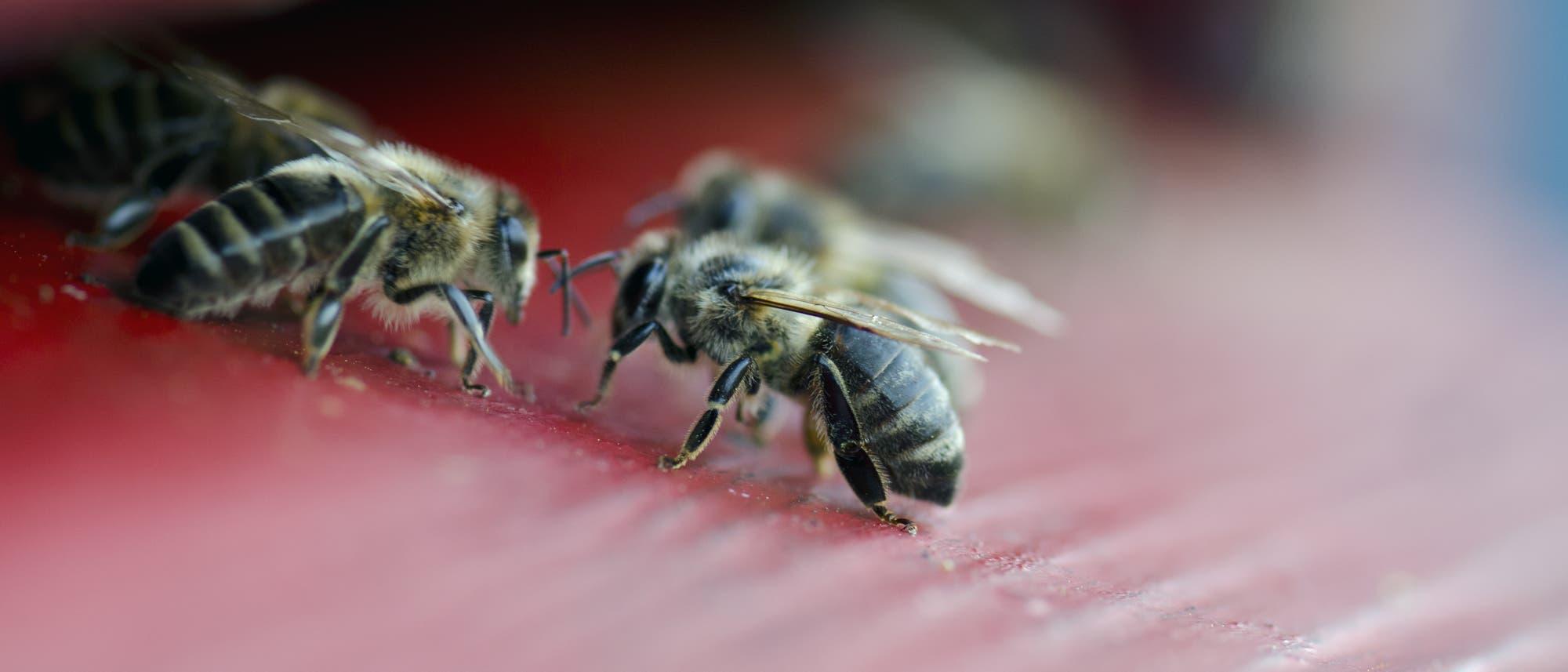 Wächter am Eingang des Bienenstocks