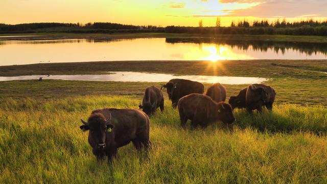 Bisons im Pleistozän Park