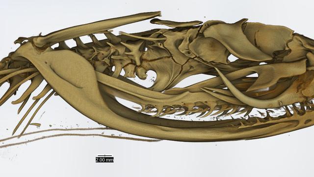 Viper aus Äthiopien - Schädel im Computertomografen