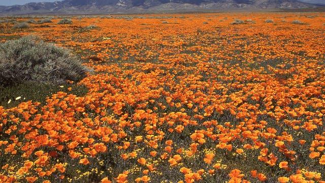 Gelber Mohn in Kaliforniens Wüstengebieten