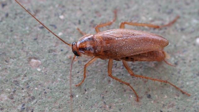 Kakerlake Blattodea germanica
