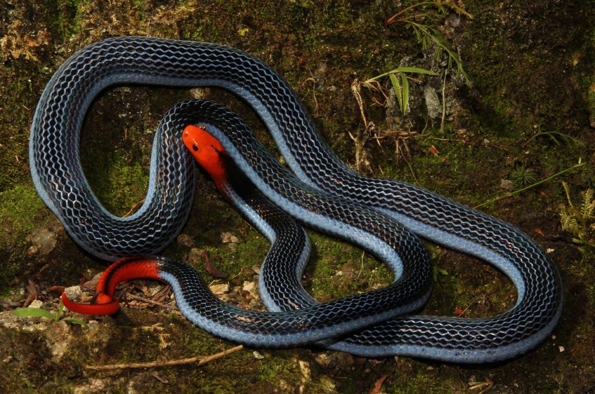 Blaue Bauchdrüsenotter ist eine Giftschlange