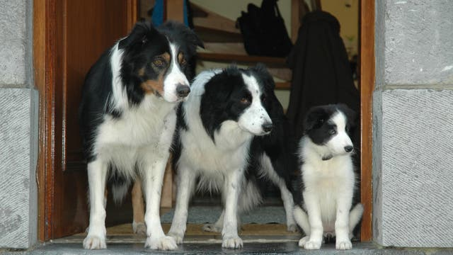 Bordercolliefamilie bewacht Hauseingang