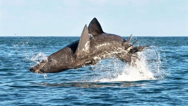 Springender Riesenhai