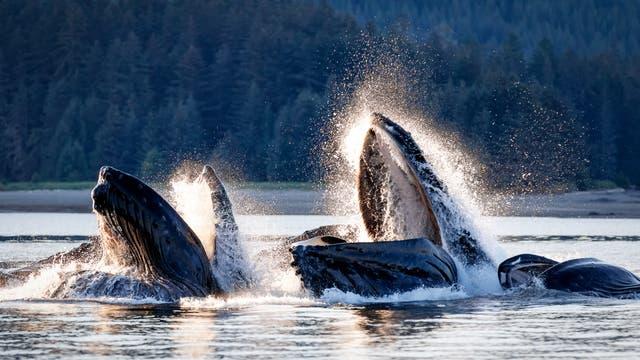 Buckelwale beim Fischen