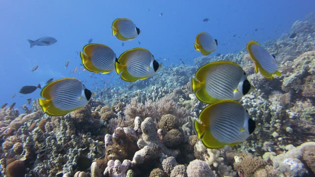 Riff mit Falterfischen