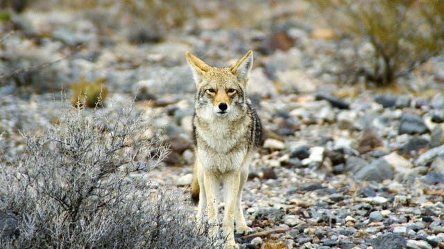 Alles im Blick. Kojote im Death Valley