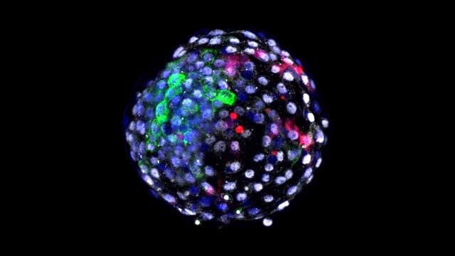 Ein Blastozyst aus Zellen von Mensch und Affe