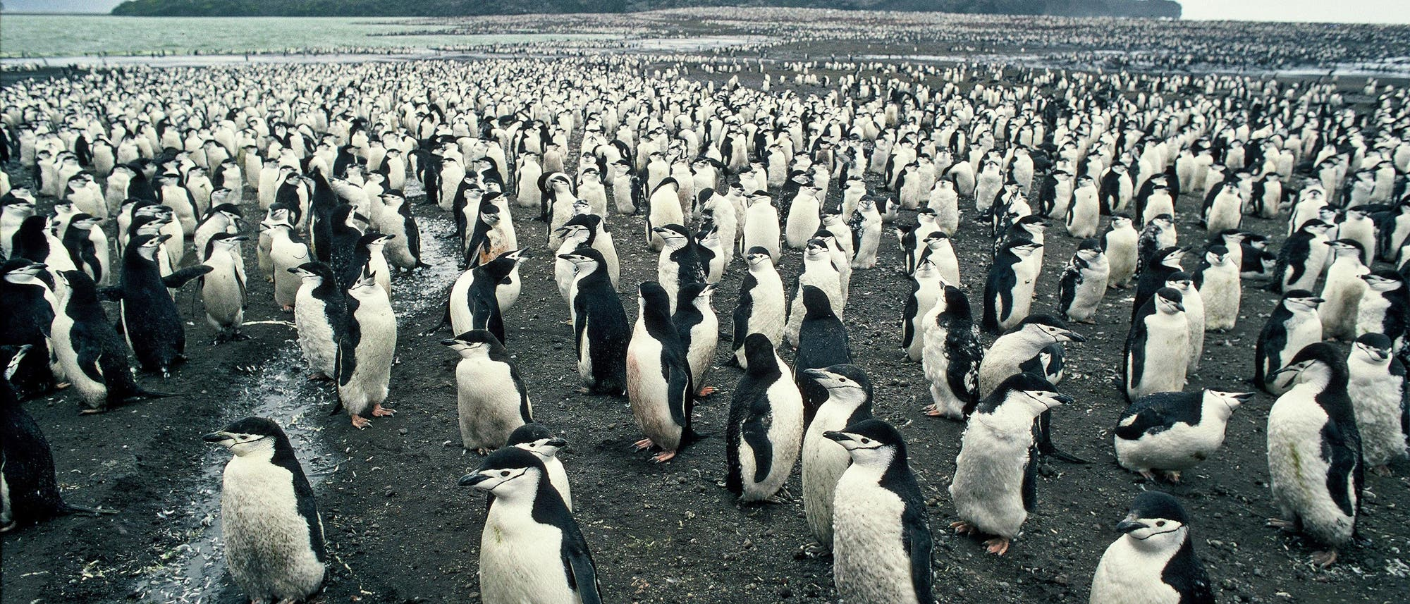 Eine Kolonie Zügelpinguine auf Zavodovski in der Subantarktis