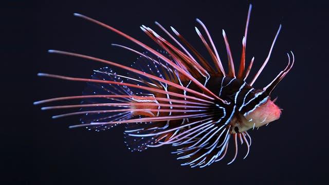 Strahlenfeuerfisch (Pterois radiata)