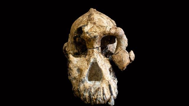 Schädelfossil von Australopithecus anamensis