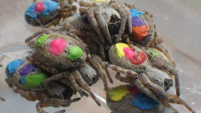Farbmarkierte Spinnen