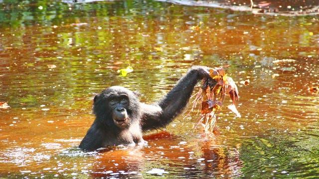 Bonobo fischt nach Tigerlotus