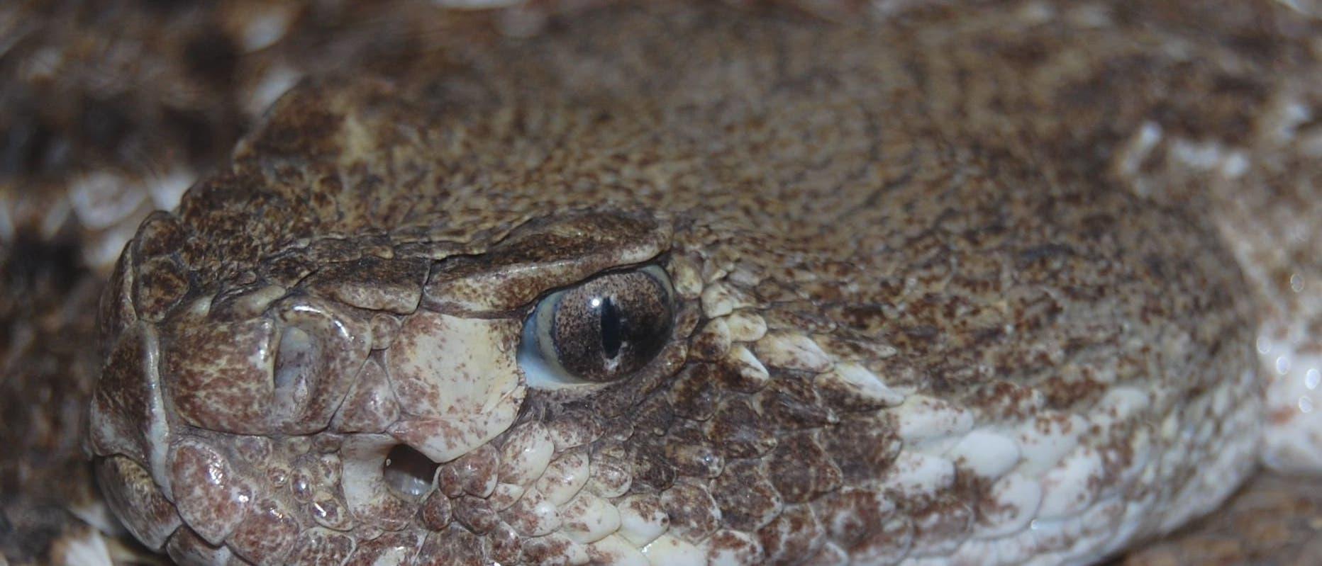 Texanische Klapperschlange