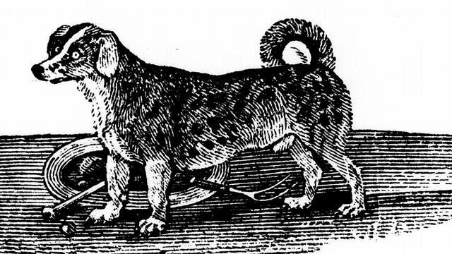 Kurze Beine, gedrungener Körperbau: ein Drehspieß-Hund