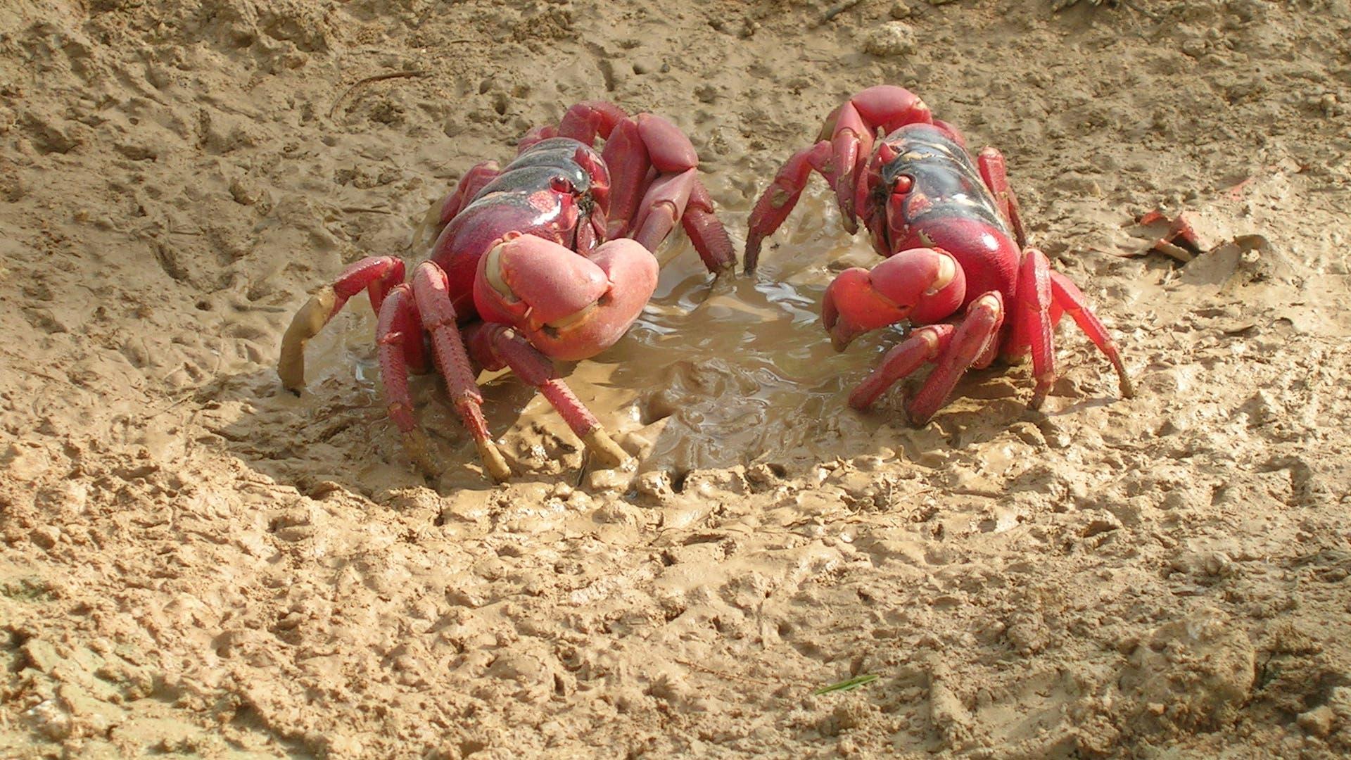 Krabbenmännchen und -weibchen beim Trinken
