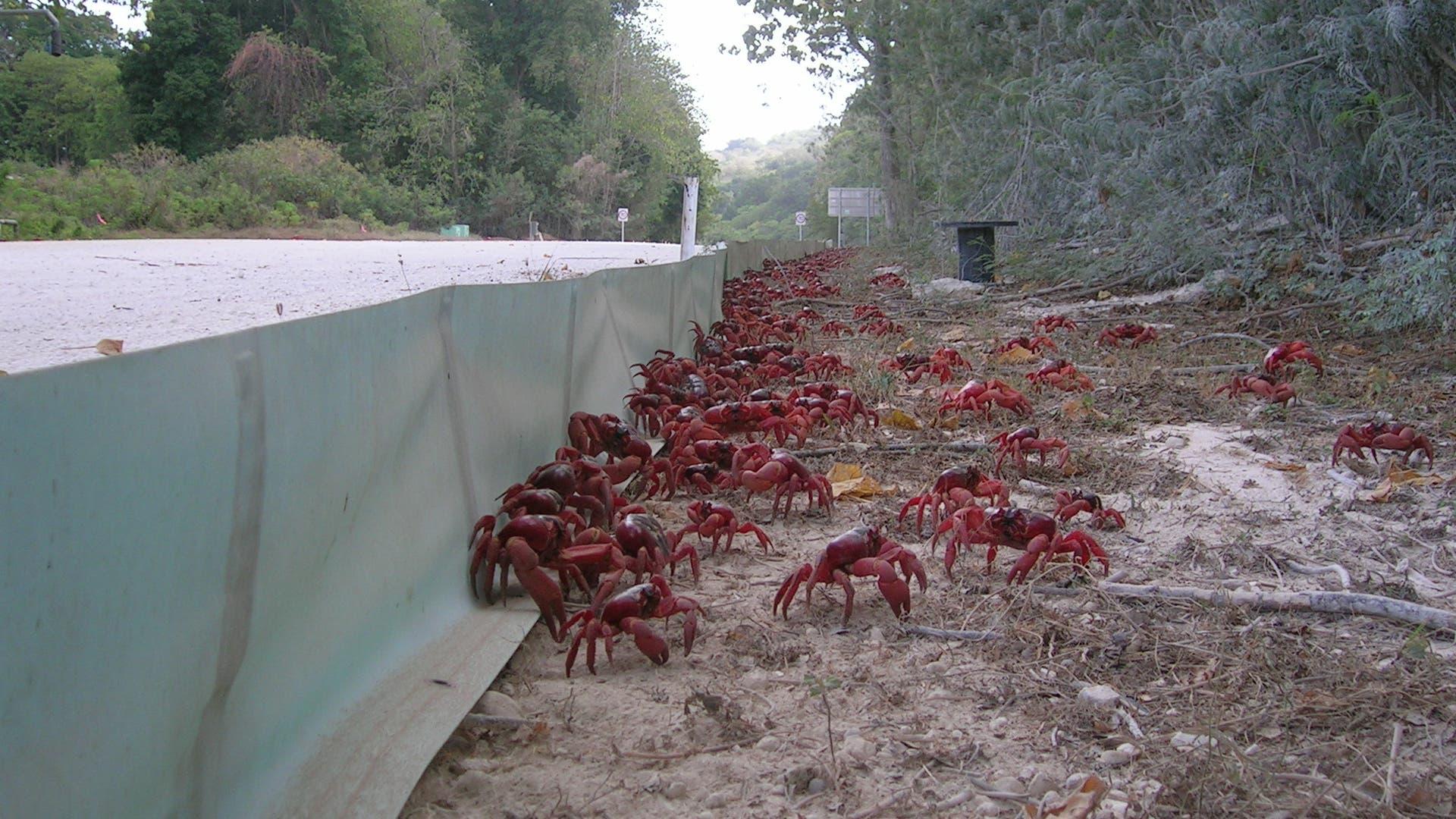 Verkehrsgefahr durch Weihnachtsinsel-Krabbenflut