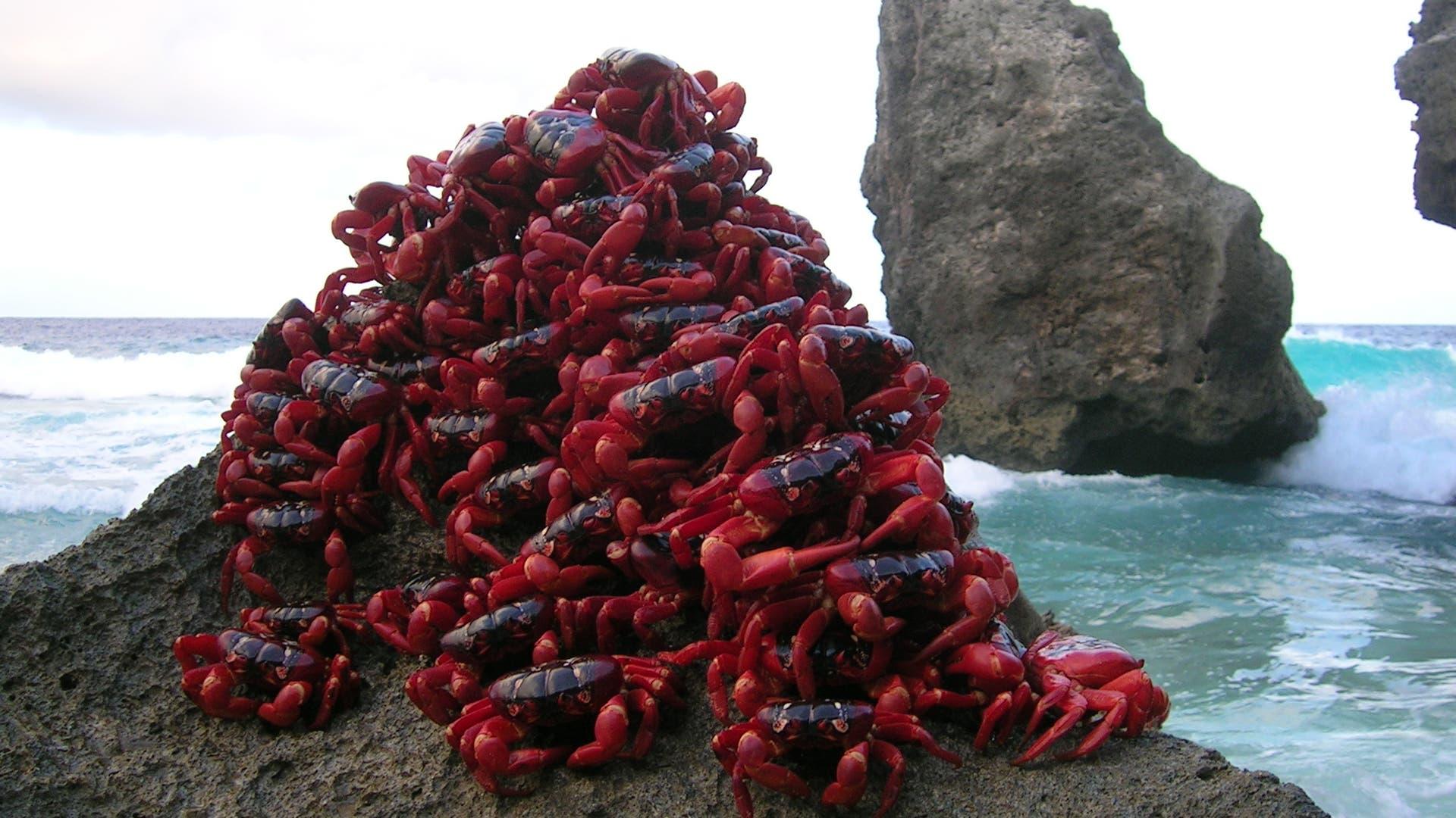 Im Ziel: Rote Krabbenmasse am Meer