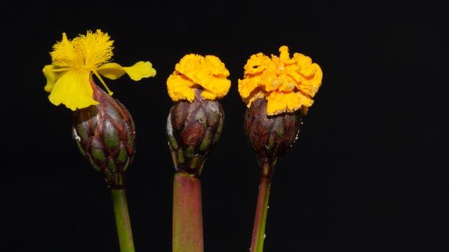 Tut gern so, als wäre er eine Blume: Fusarium xyrophilum.