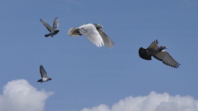 Tauben im Fug mit Sendern