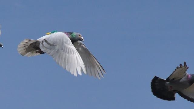 Tauben im Flug mit Sendern