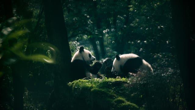 Zwei Große Pandas auf einer Lichtung