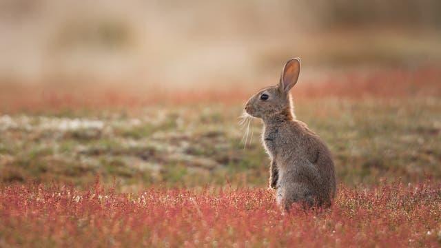 Kaninchen in freier Wildbahn
