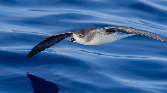 Desertas-Sturmvogel über dem Meer