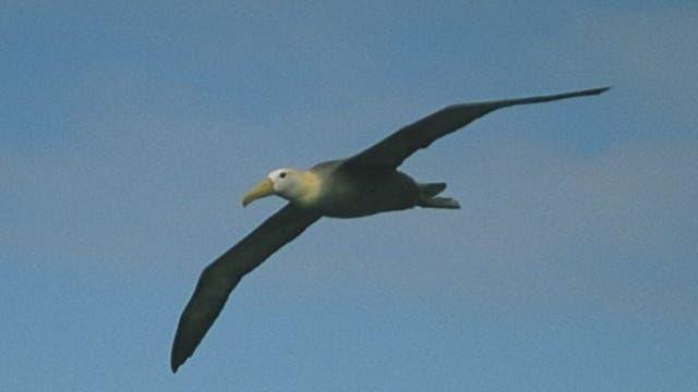 Galapagos-Albatros