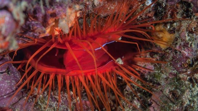 Discomuschel im Aquarium