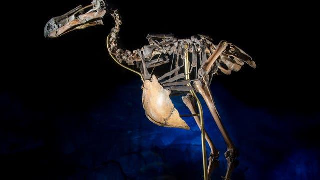 Skelett eines Dodos