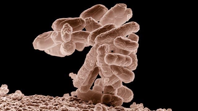 Darmflora unter dem Mikroskop