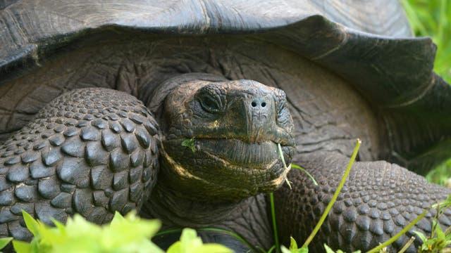 """Don-Fausto""-Riesenschildkröte"