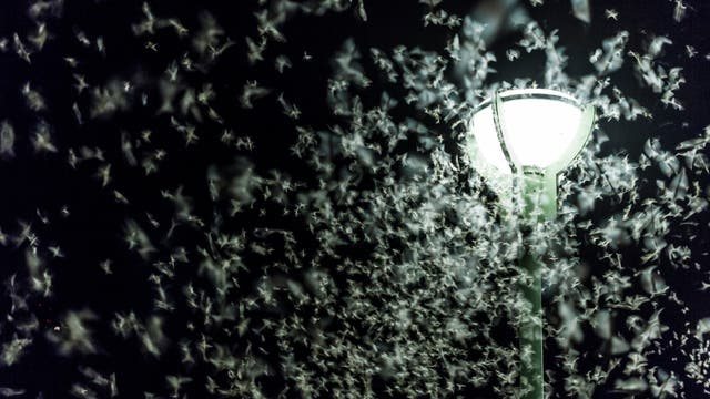 Lichtverschmutzung: Eintagsfliegen umkreisen Straßenlaterne