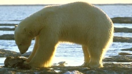Eisbär_qu