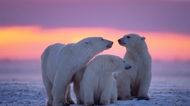 Eisbären besitzen eine schwarze Haut