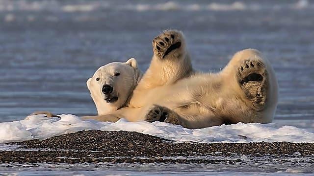 Ein Eisbär sonnt sich in der Arktis