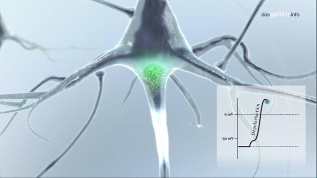 Elektrische Potenziale: Die Sprache der Neurone