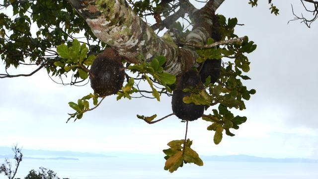 Eine Kitschpostkartenansicht von den Fidschi-Inseln - Im Vordergrund wuchern Epiphyten auf einem Baum