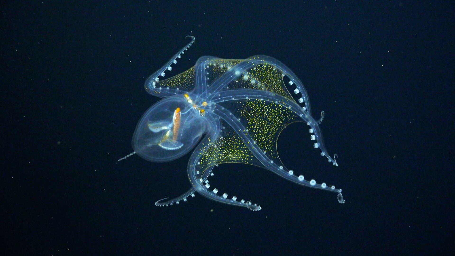 Glas-Oktopus