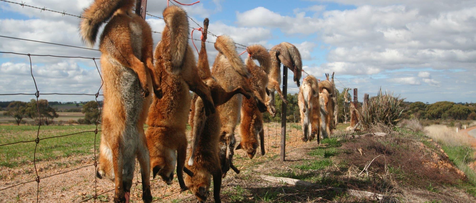 Erlegte Füchse auf einem Zaun im australischen Outback