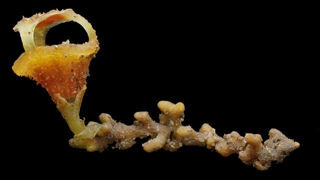 Die neue Art Thismia sitimeriamiae