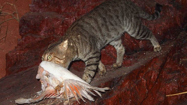 Katze mit erbeutetem Rosakakadu (Eolophus roseicapilla)