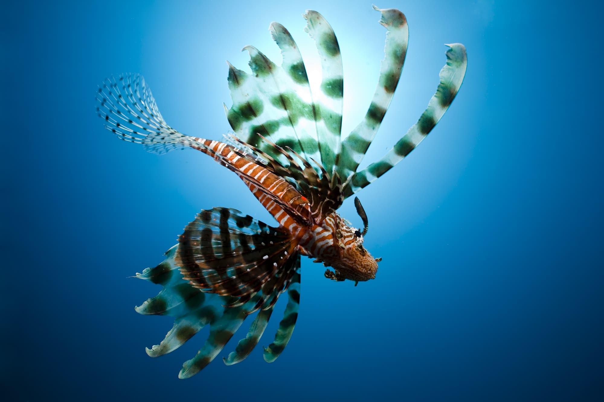 Das Gift der Fische befindet sich als Sekret auf der Haut der Rückenstacheln. Es kann starke Schmerzen hervorrufen, ist aber nicht tödlich, wenn es auf die Haut von Tauchern gelangt.